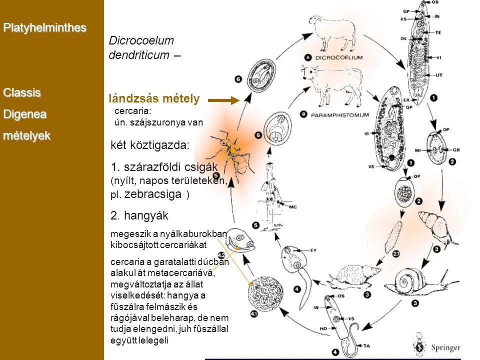 Dicrocoelum dendriticum –