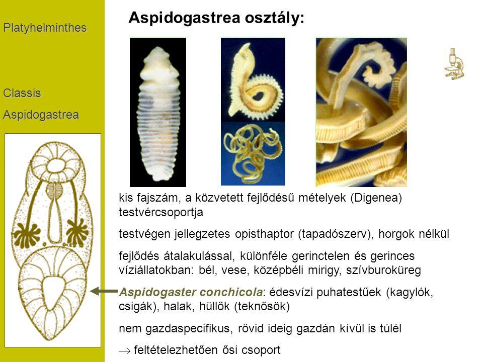 Aspidogastrea osztály: