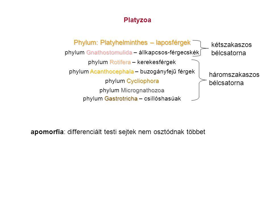 Phylum: Platyhelminthes – laposférgek kétszakaszos bélcsatorna
