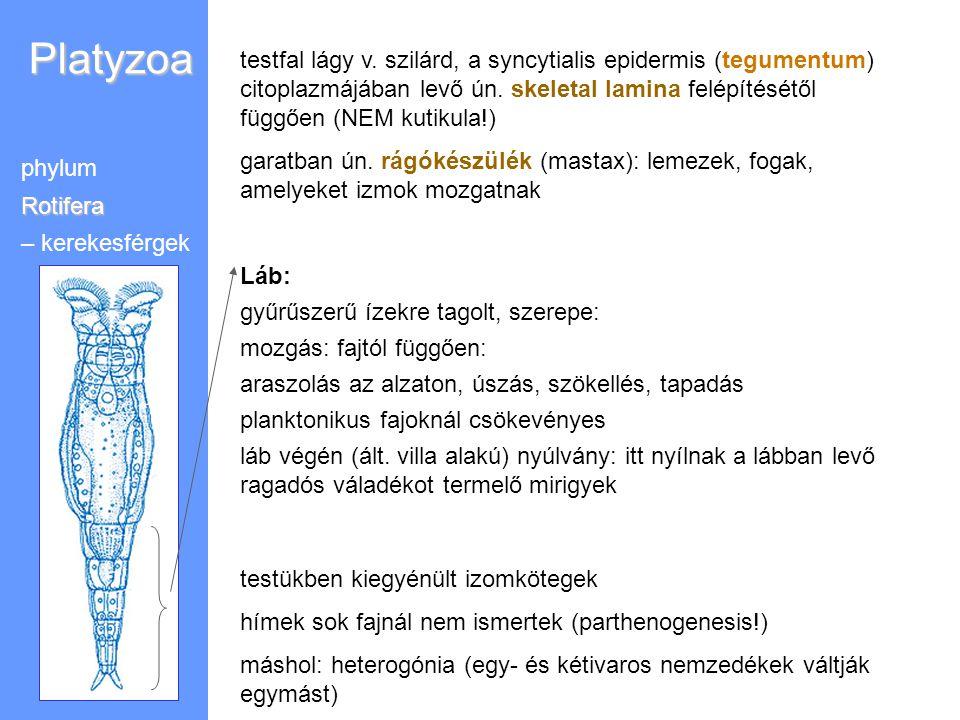 Platyzoa testfal lágy v. szilárd, a syncytialis epidermis (tegumentum) citoplazmájában levő ún. skeletal lamina felépítésétől függően (NEM kutikula!)
