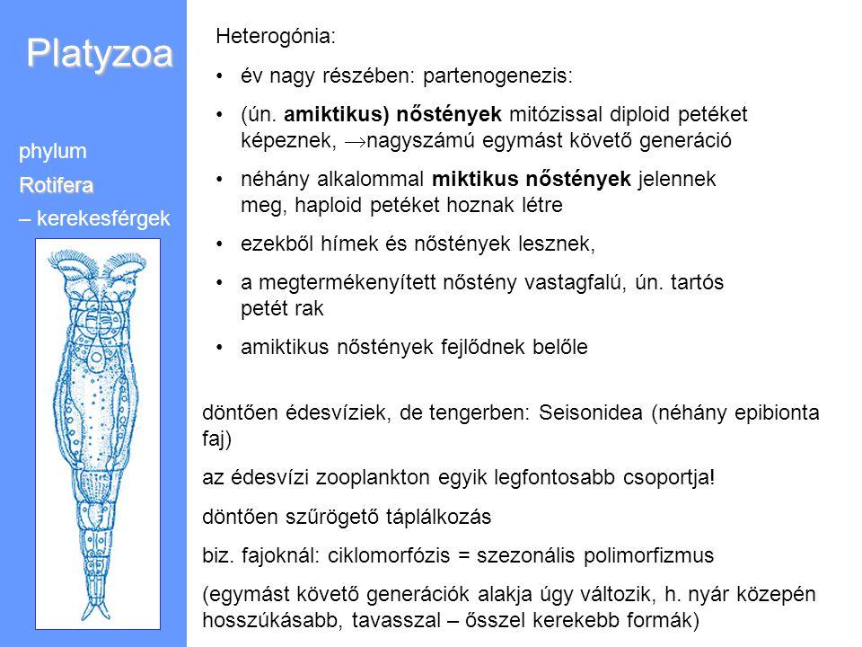Platyzoa Heterogónia: év nagy részében: partenogenezis: