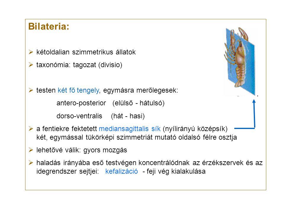 Bilateria: kétoldalian szimmetrikus állatok