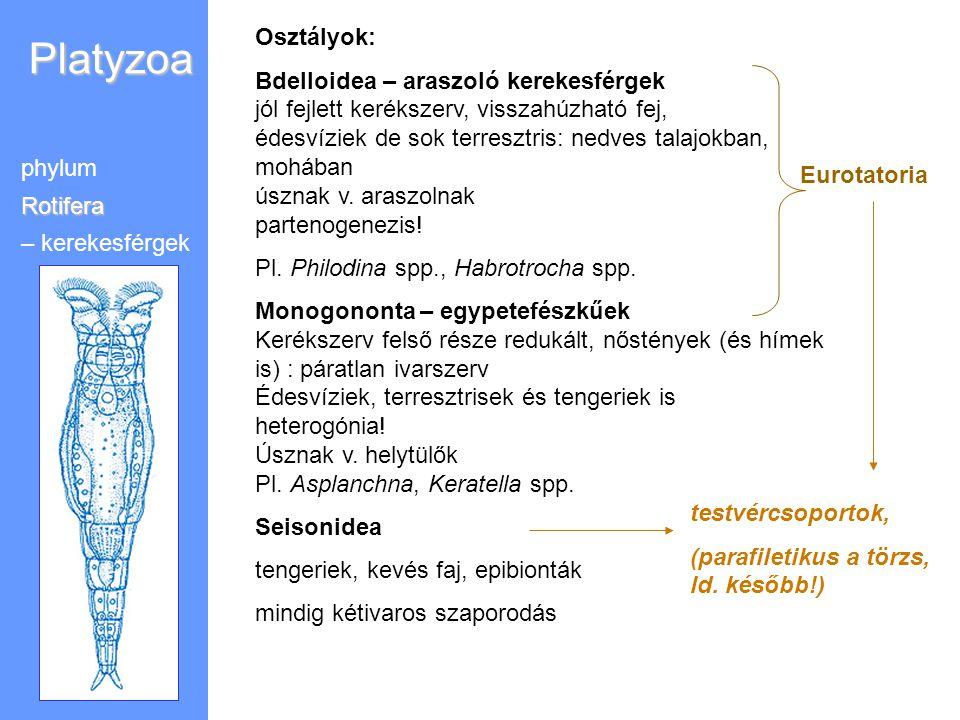 Platyzoa Osztályok: Bdelloidea – araszoló kerekesférgek