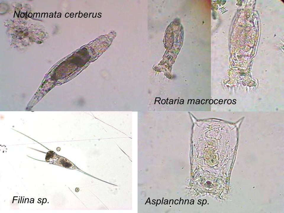 Notommata cerberus Rotaria macroceros Filina sp. Asplanchna sp.