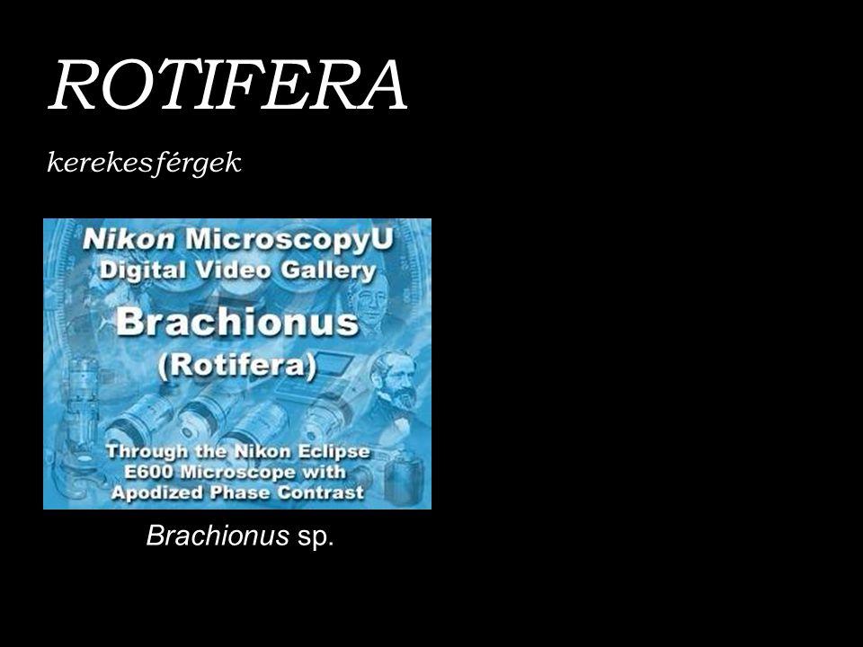 ROTIFERA kerekesférgek Brachionus sp.