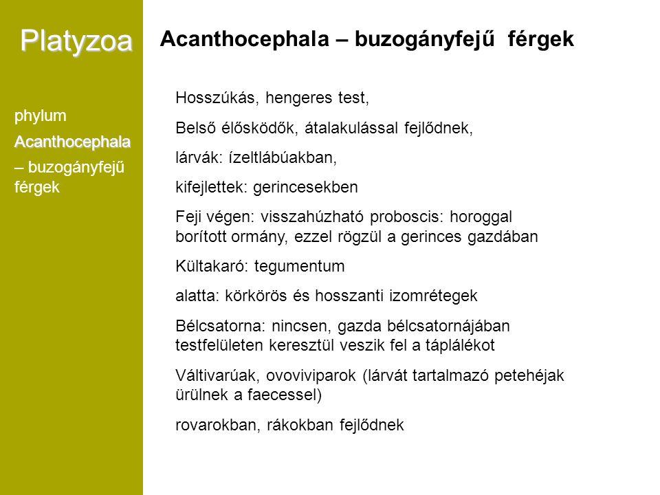 Platyzoa Acanthocephala – buzogányfejű férgek