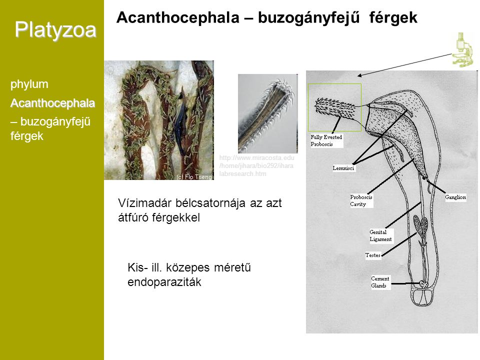 Platyzoa Acanthocephala – buzogányfejű férgek phylum Acanthocephala