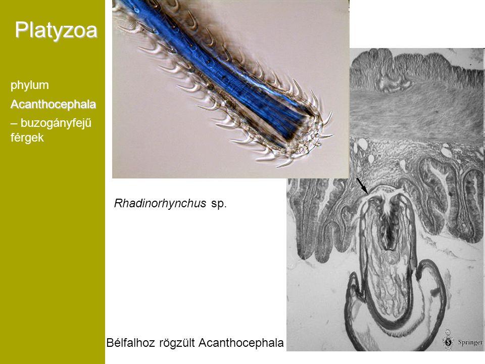 Platyzoa phylum Acanthocephala – buzogányfejű férgek