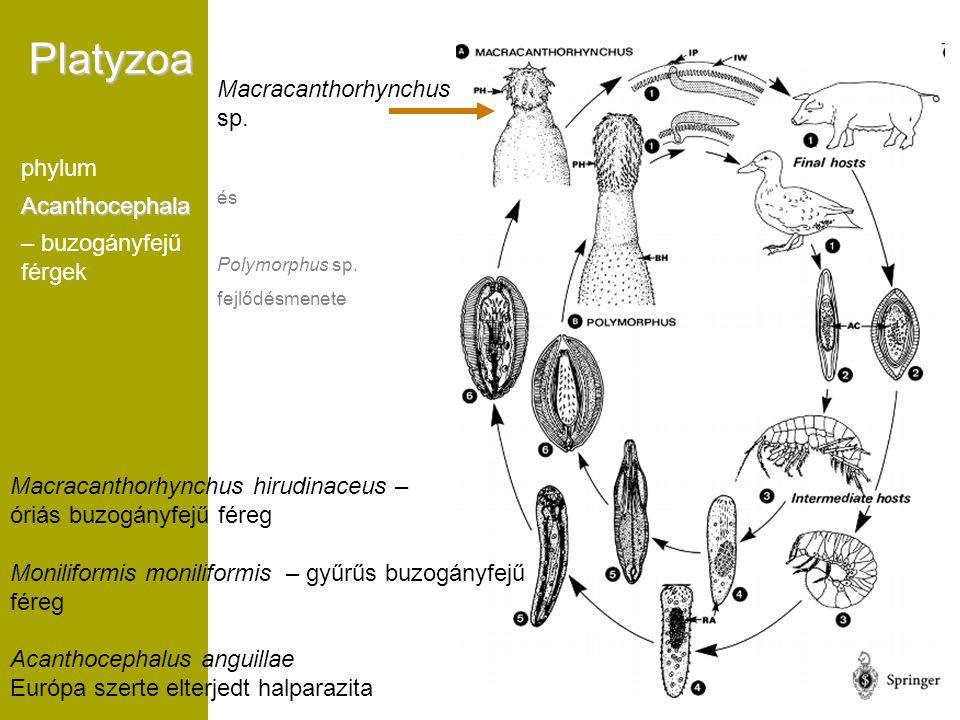 Platyzoa Macracanthorhynchus sp. phylum Acanthocephala