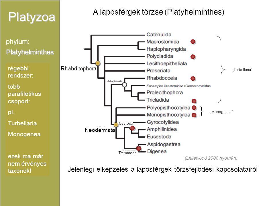 A laposférgek törzse (Platyhelminthes)