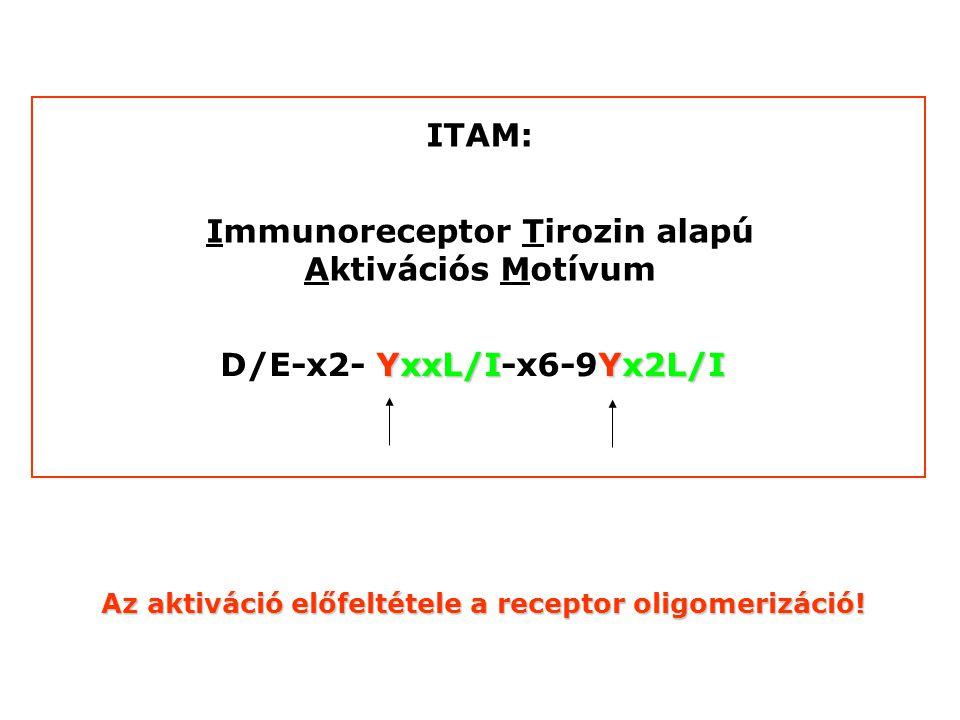Immunoreceptor Tirozin alapú Aktivációs Motívum