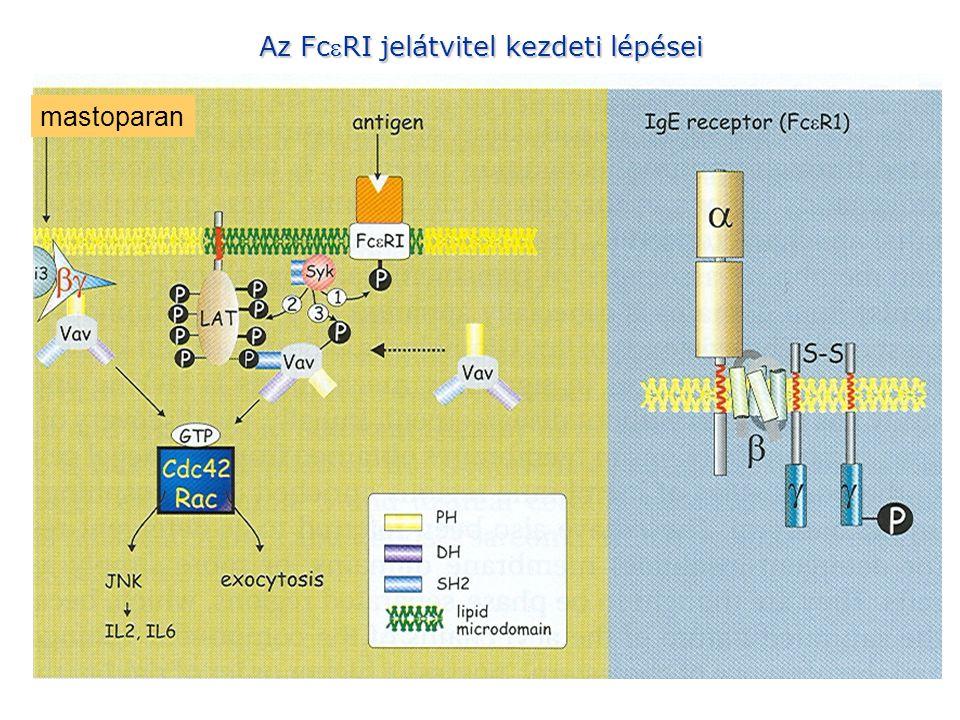 Az FceRI jelátvitel kezdeti lépései