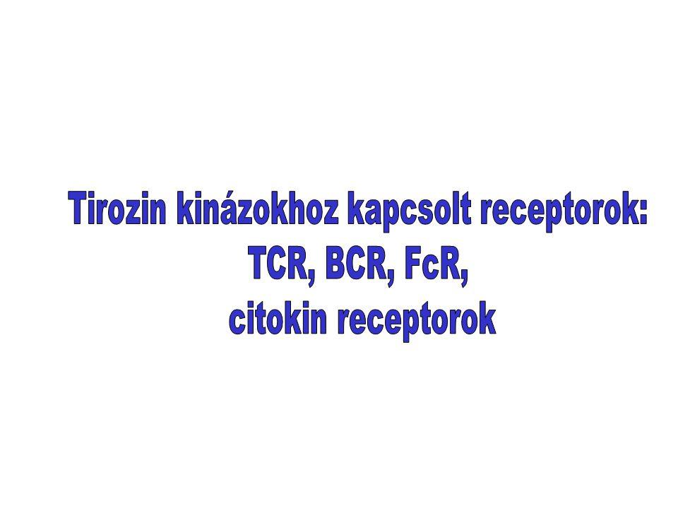 Tirozin kinázokhoz kapcsolt receptorok: