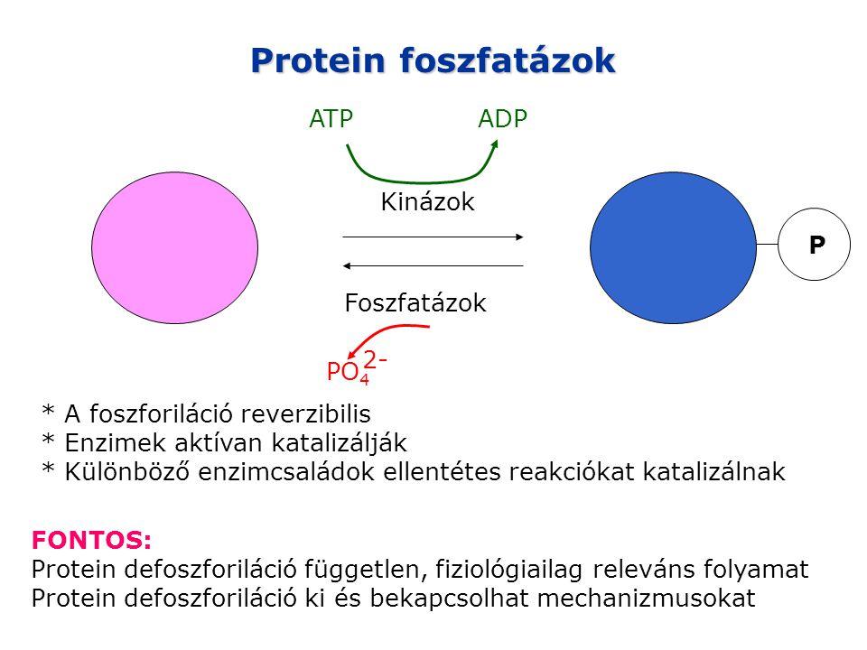 Protein foszfatázok ATP ADP Kinázok Foszfatázok P PO4 2-