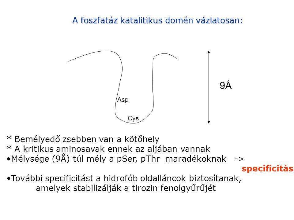 9Å A foszfatáz katalitikus domén vázlatosan: