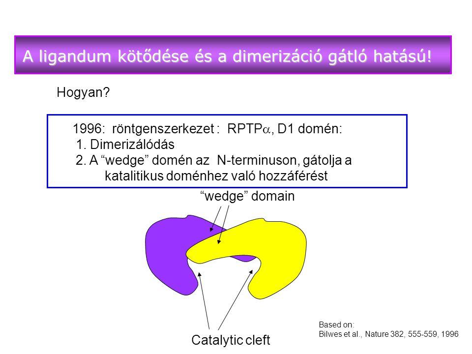 A ligandum kötődése és a dimerizáció gátló hatású!