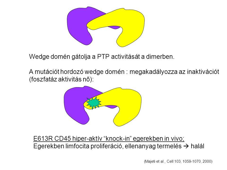 Wedge domén gátolja a PTP activitását a dimerben.
