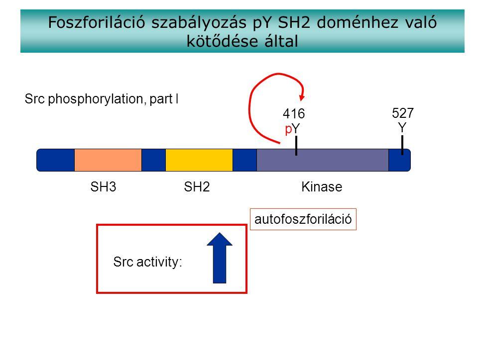 Foszforiláció szabályozás pY SH2 doménhez való kötődése által