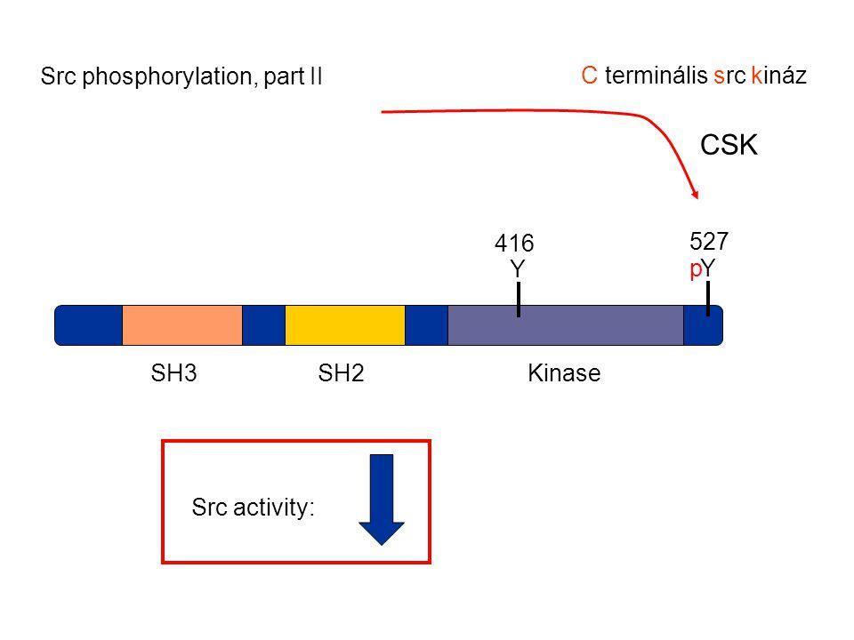 CSK Src phosphorylation, part II C terminális src kináz p Y 416 Y 527