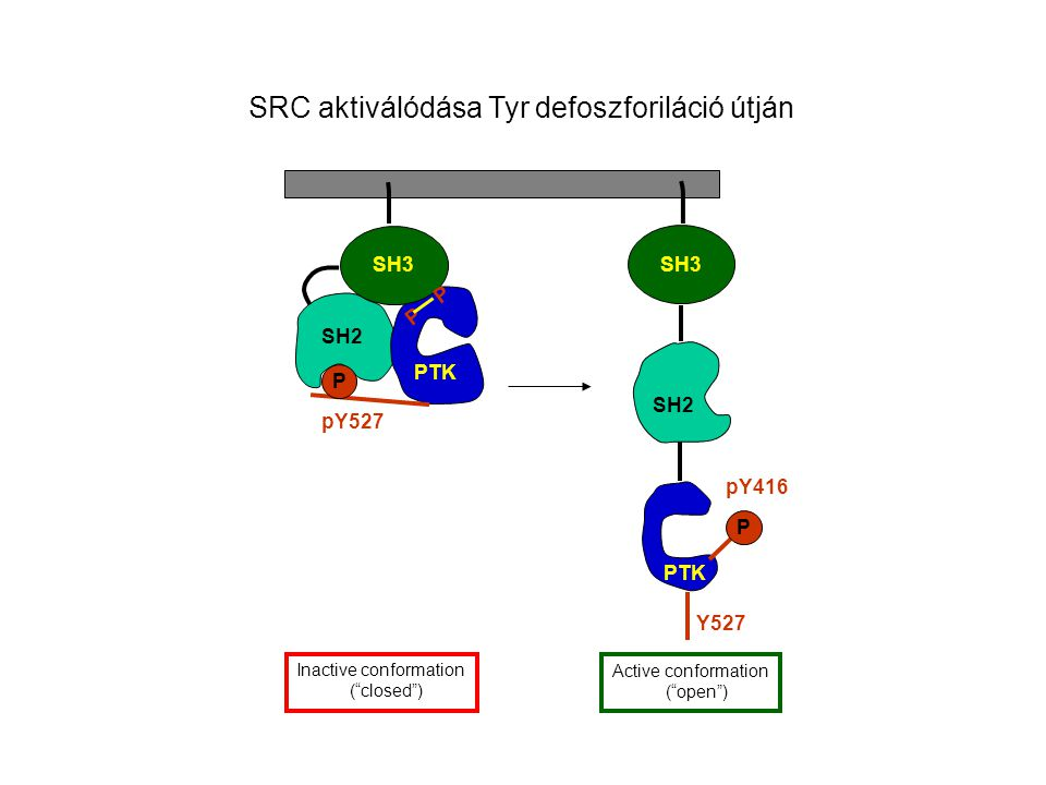 SRC aktiválódása Tyr defoszforiláció útján