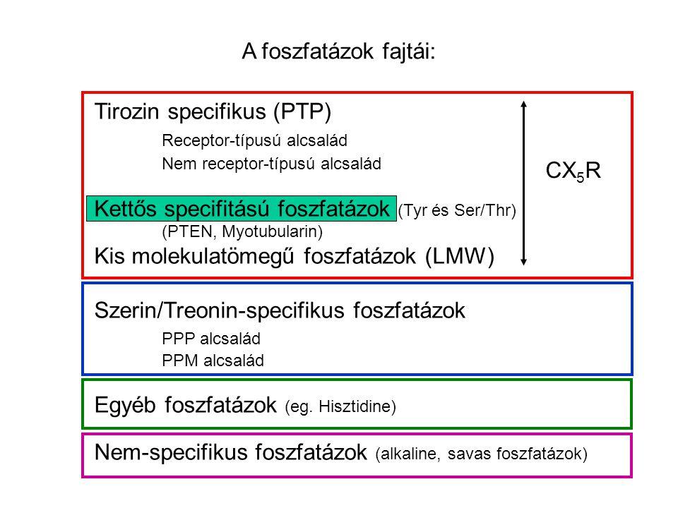Tirozin specifikus (PTP) Receptor-típusú alcsalád