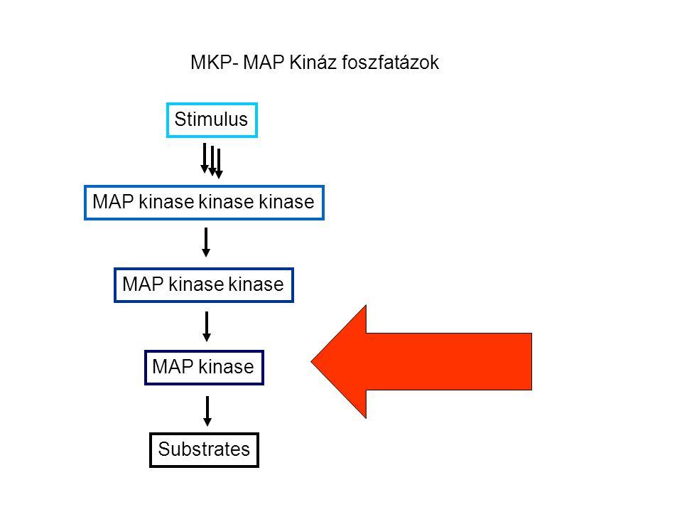 MKP- MAP Kináz foszfatázok