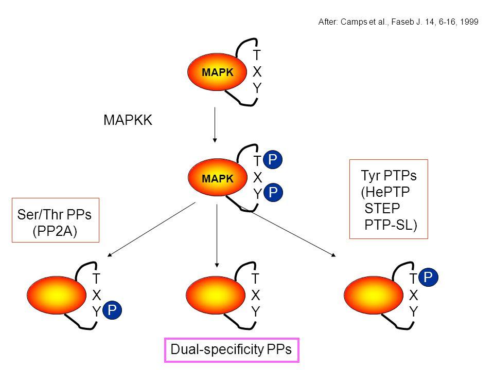 T X Y MAPKK T X Y P T X Y P Tyr PTPs (HePTP STEP PTP-SL) T X Y P