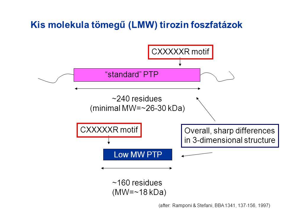 Kis molekula tömegű (LMW) tirozin foszfatázok