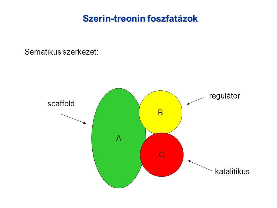Szerin-treonin foszfatázok