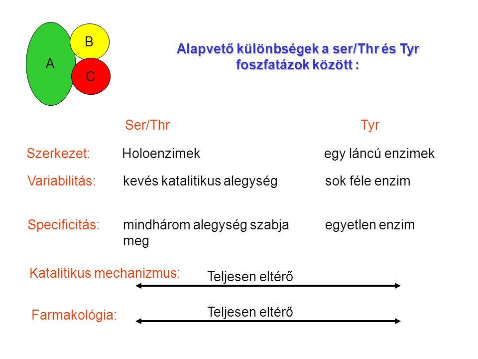 Alapvető különbségek a ser/Thr és Tyr foszfatázok között :