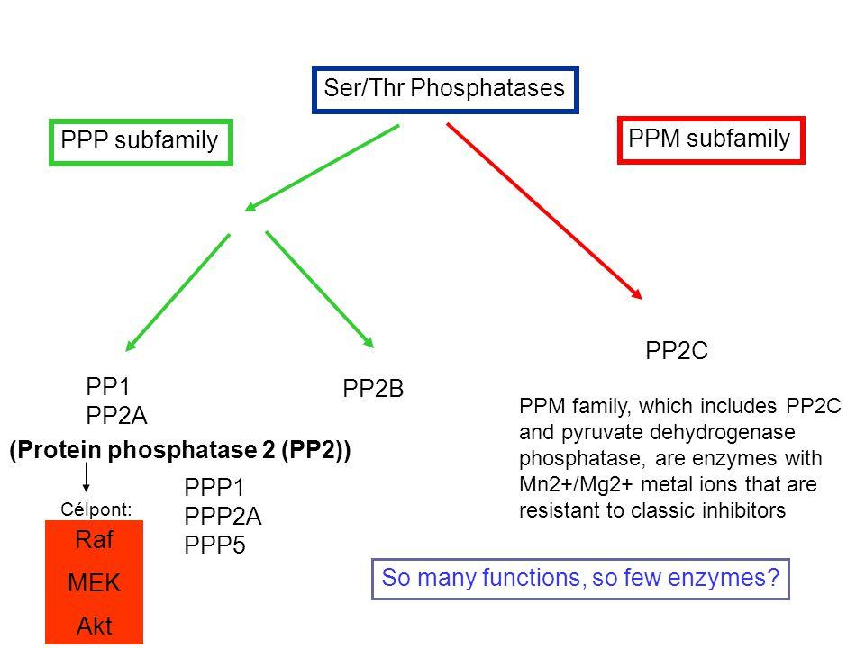 (Protein phosphatase 2 (PP2))