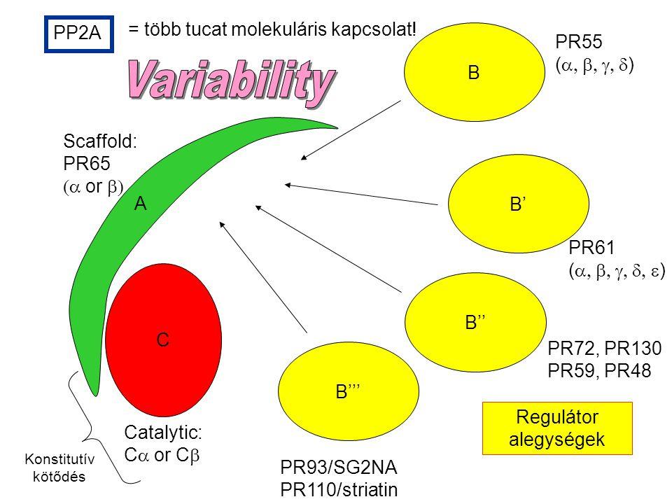 Variability = több tucat molekuláris kapcsolat! PP2A PR55 B