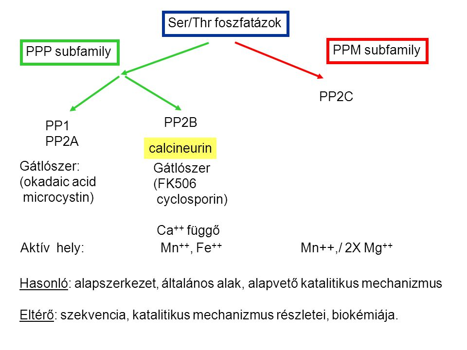 Ser/Thr foszfatázok PPP subfamily. PP1. PP2A. PP2B. PP2C. PPM subfamily. calcineurin. Gátlószer: