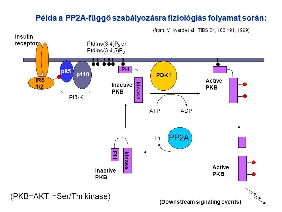Példa a PP2A-függő szabályozásra fiziológiás folyamat során: