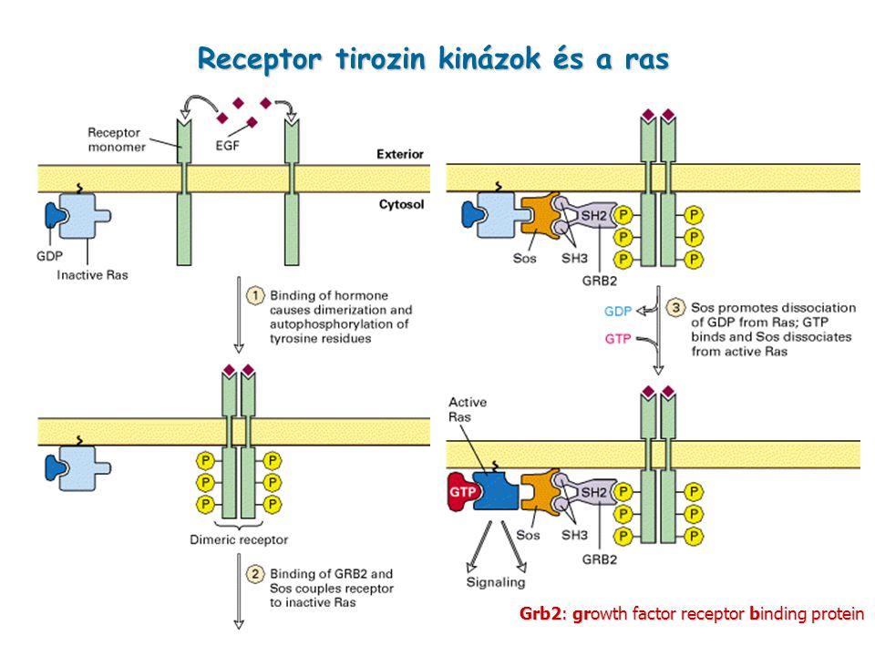 Receptor tirozin kinázok és a ras
