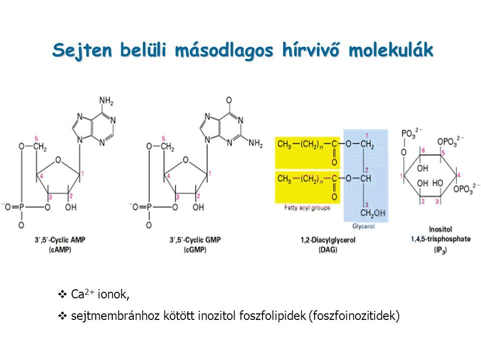 Sejten belüli másodlagos hírvivő molekulák