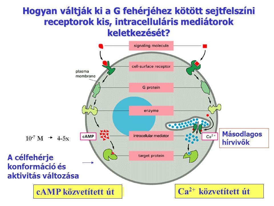 Hogyan váltják ki a G fehérjéhez kötött sejtfelszíni receptorok kis, intracelluláris mediátorok keletkezését