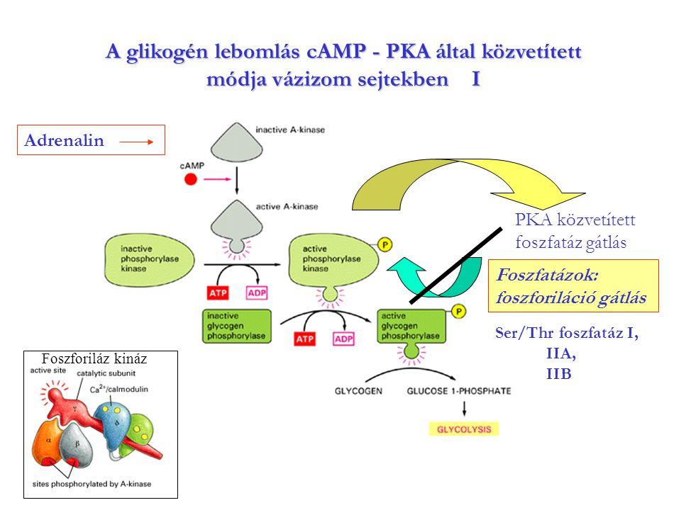 A glikogén lebomlás cAMP - PKA által közvetített módja vázizom sejtekben I