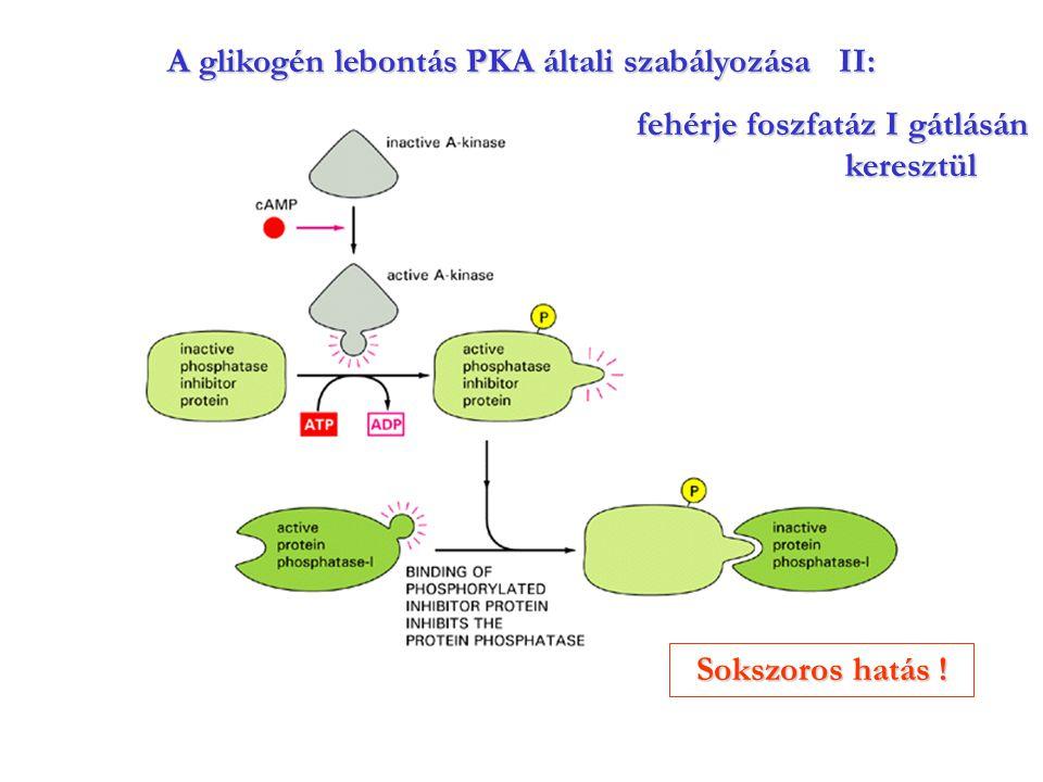 A glikogén lebontás PKA általi szabályozása II: