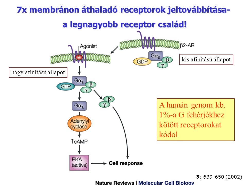 7x membránon áthaladó receptorok jeltovábbítása-