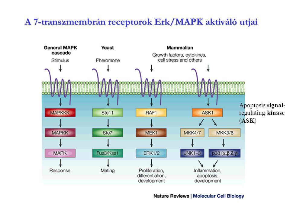 A 7-transzmembrán receptorok Erk/MAPK aktiváló utjai