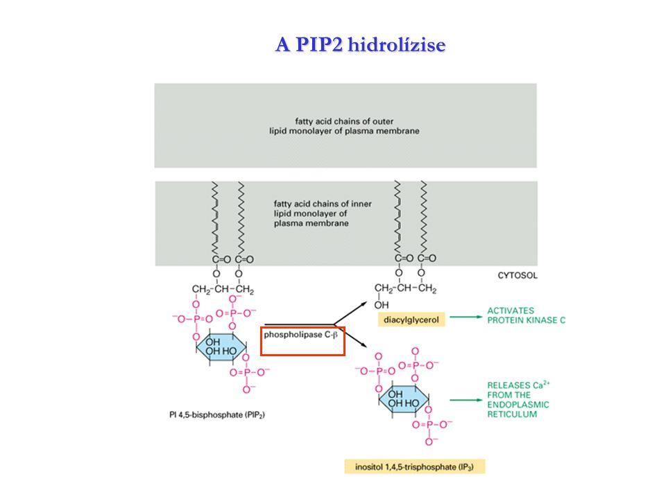 A PIP2 hidrolízise