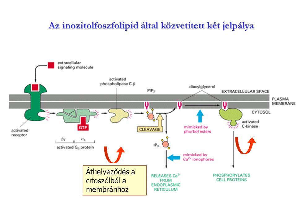 Az inozitolfoszfolipid által közvetített két jelpálya