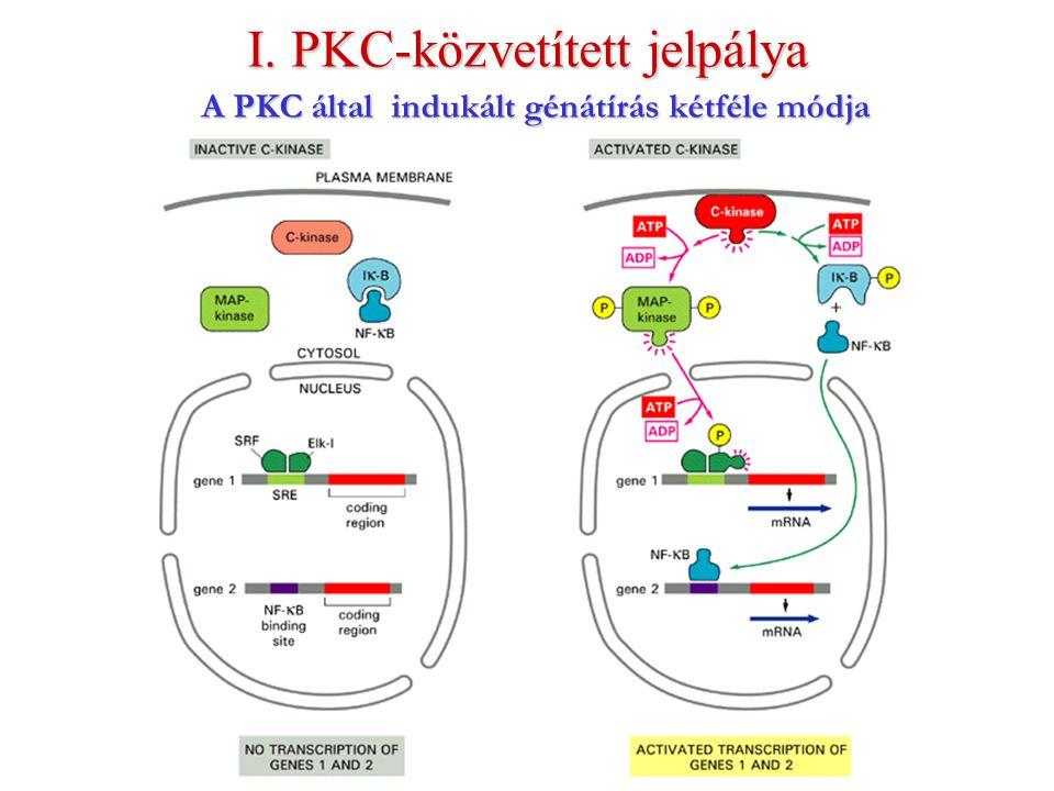A PKC által indukált génátírás kétféle módja