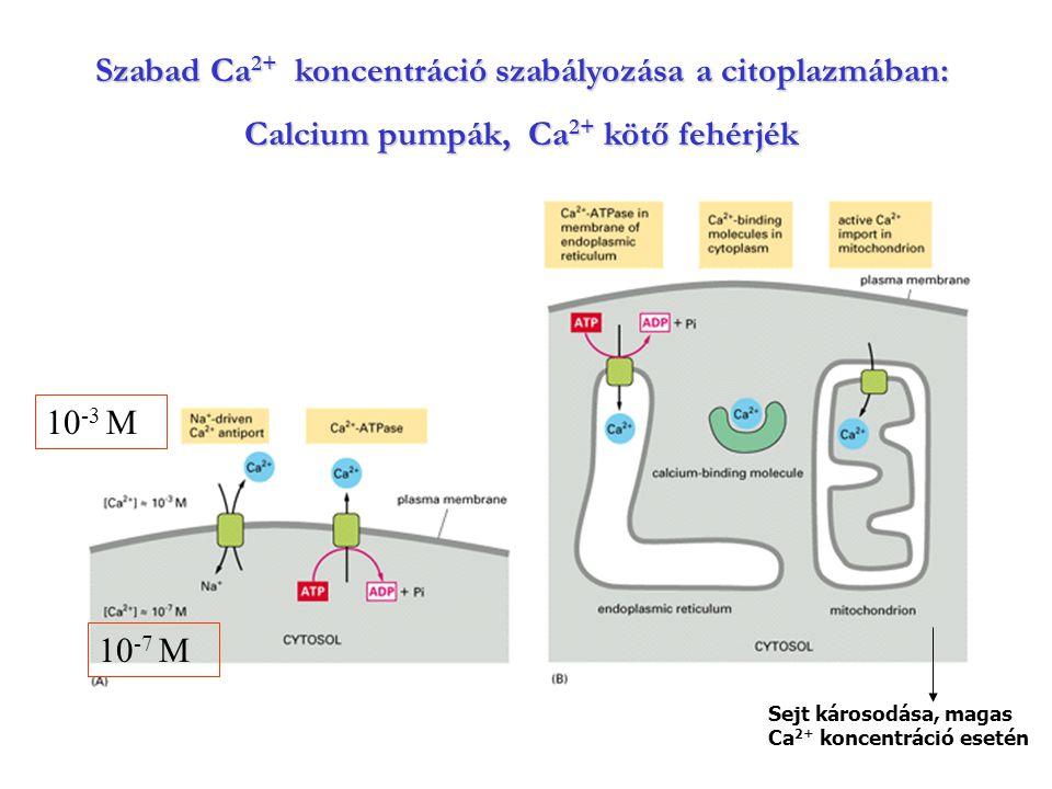 Szabad Ca2+ koncentráció szabályozása a citoplazmában: