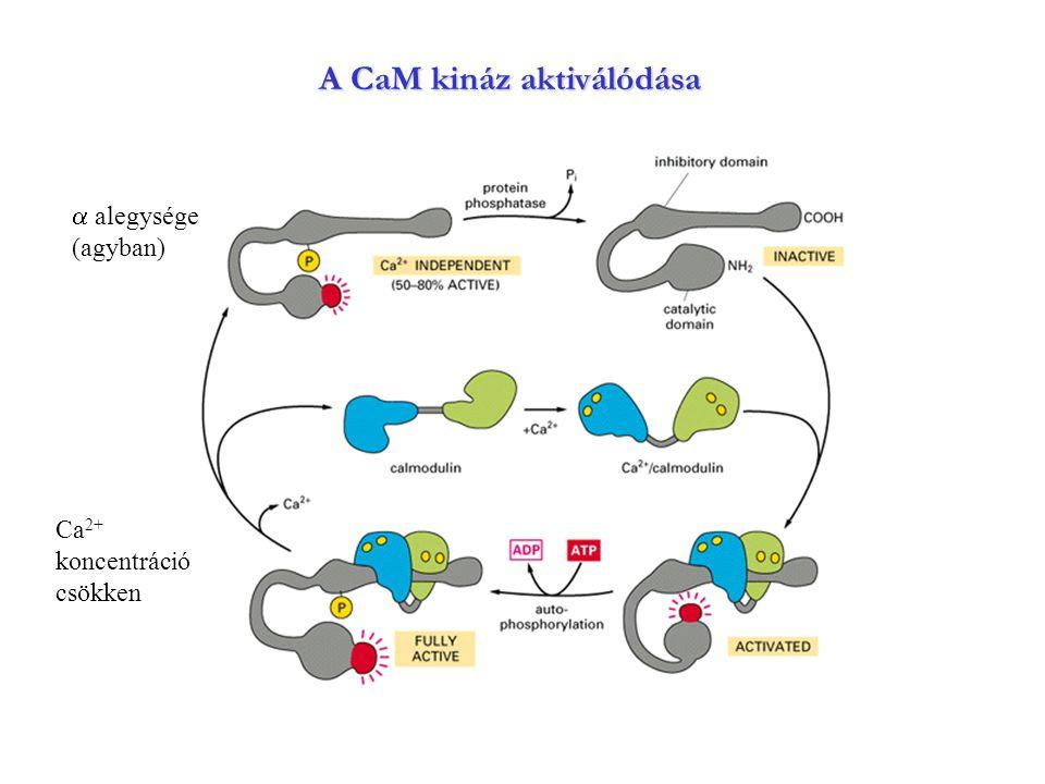 A CaM kináz aktiválódása