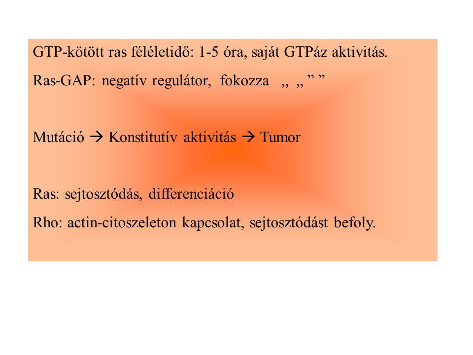 GTP-kötött ras féléletidő: 1-5 óra, saját GTPáz aktivitás.