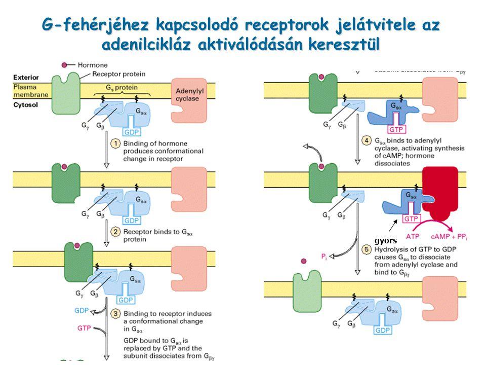 G-fehérjéhez kapcsolodó receptorok jelátvitele az adenilcikláz aktiválódásán keresztül