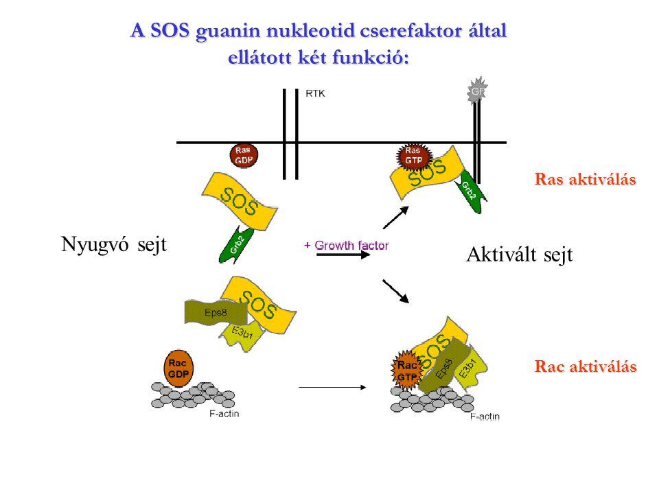 A SOS guanin nukleotid cserefaktor által ellátott két funkció:
