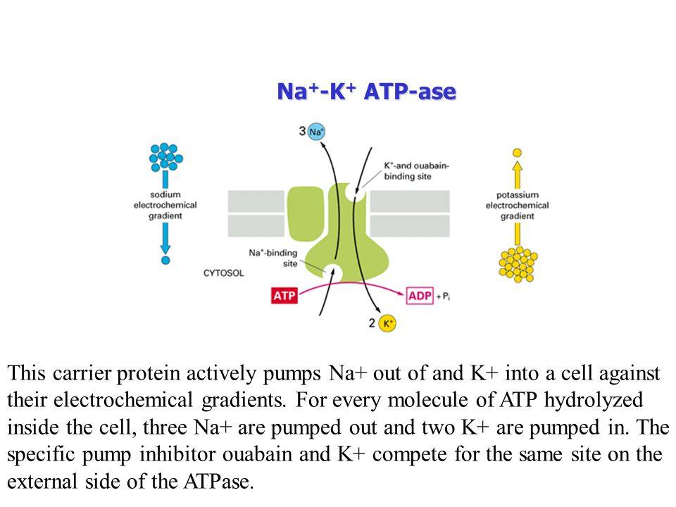 Na+-K+ ATP-ase